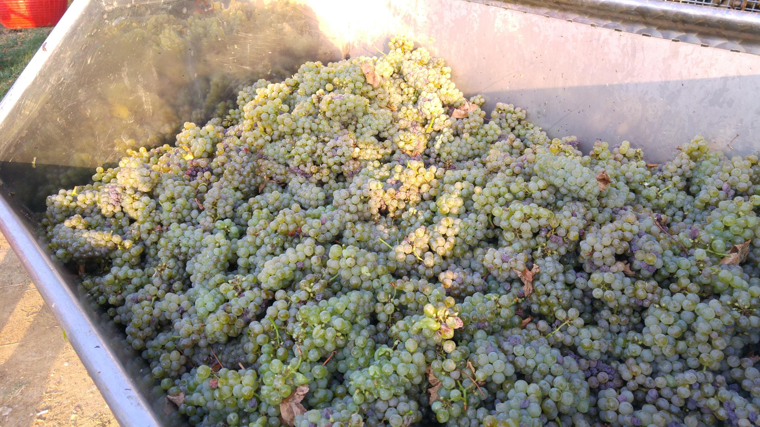 Uve di Sauvignon in Friuli Venezia Giulia