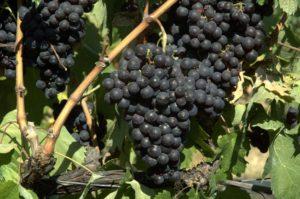 Viticoltura in Liguria: Vitigno Rossese