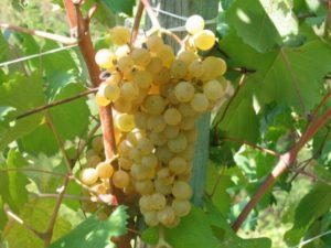 Viticoltura in Liguria: Vitigno Pigato (ph tavoladautore.it)