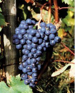 Viticoltura in Liguria: Vitigno Ormeasco