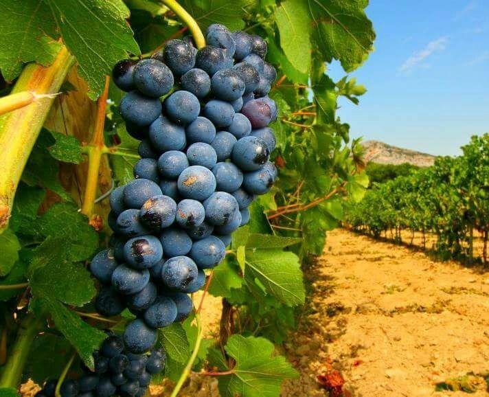 Vitigni d'Abruzzo: Montepulciano d'Abruzzo