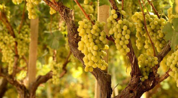 Vitigni d'Abruzzo: la cococciola