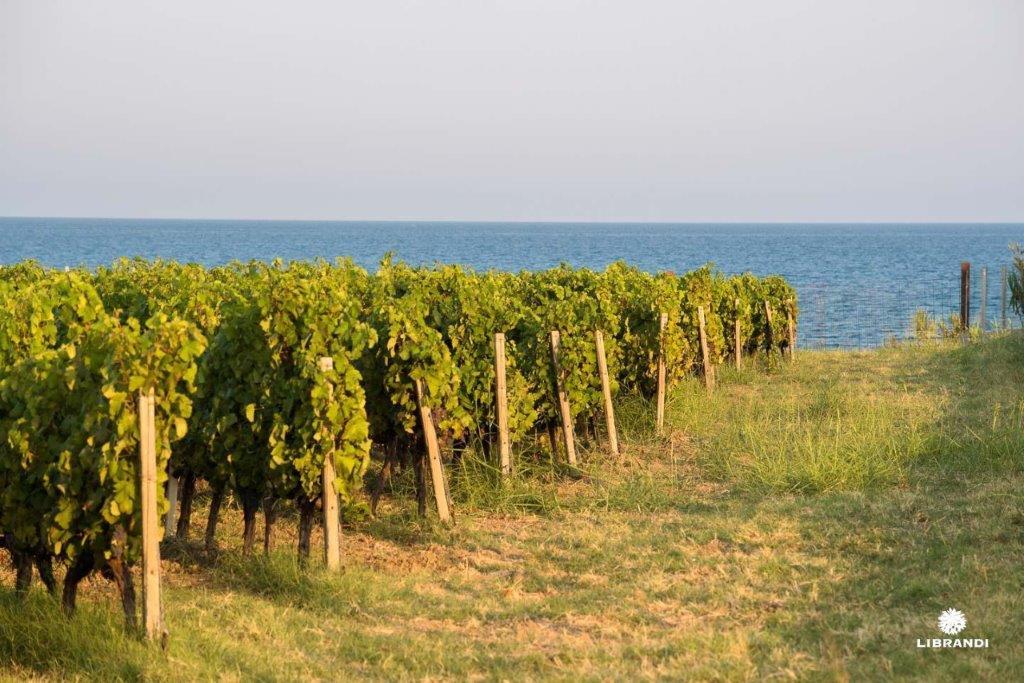 Vitigni di Calabria: il gaglioppo