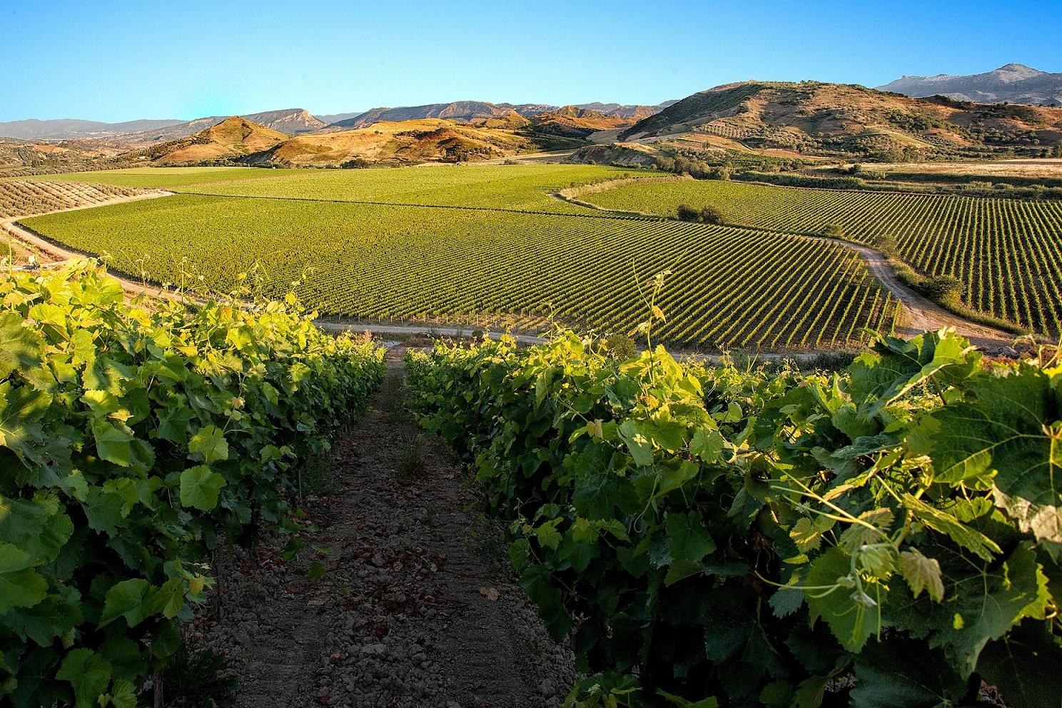 Magliocco, vitigno della Calabria