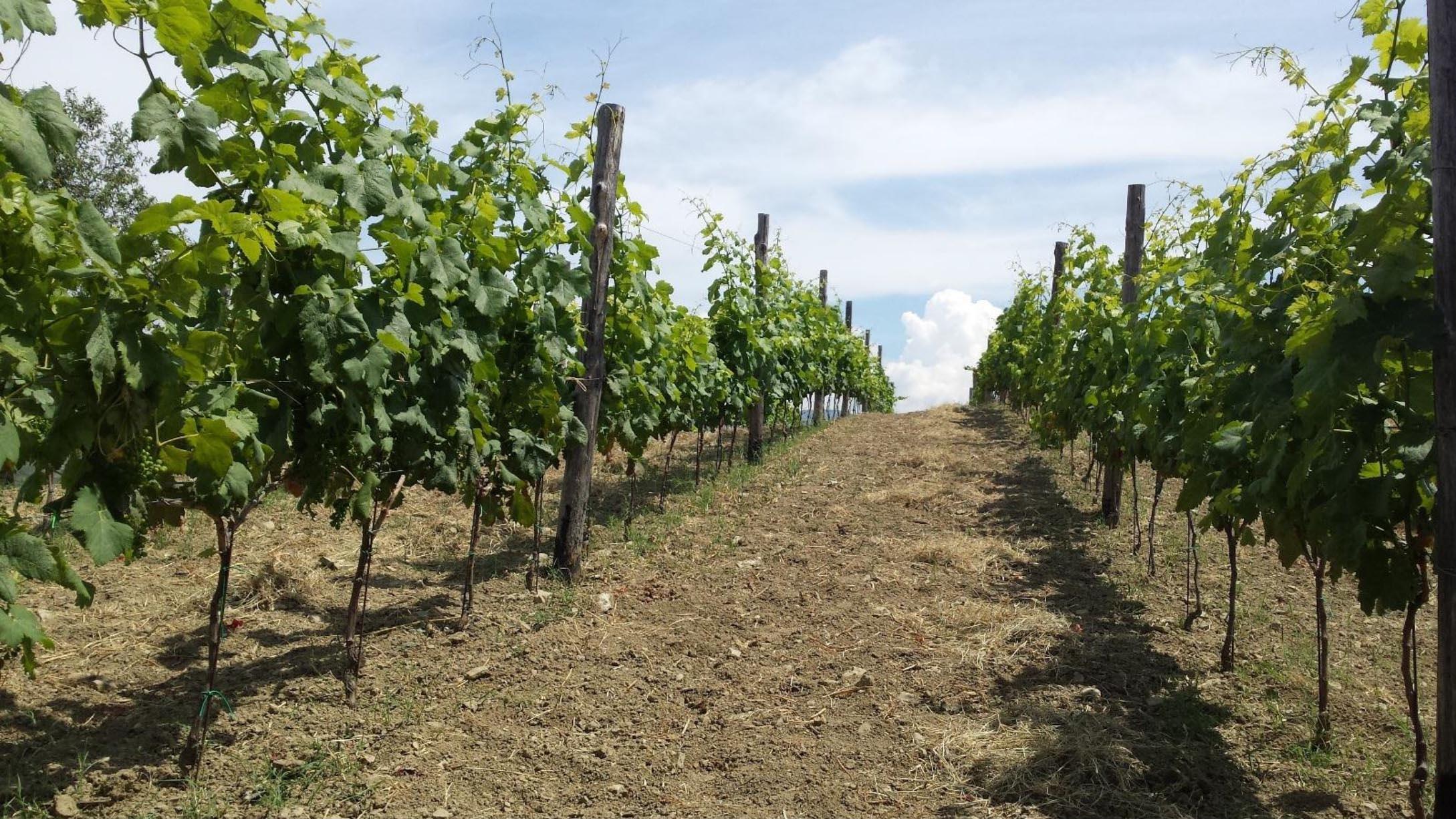Nocera e nerello calabrese, vitigni di Calabria