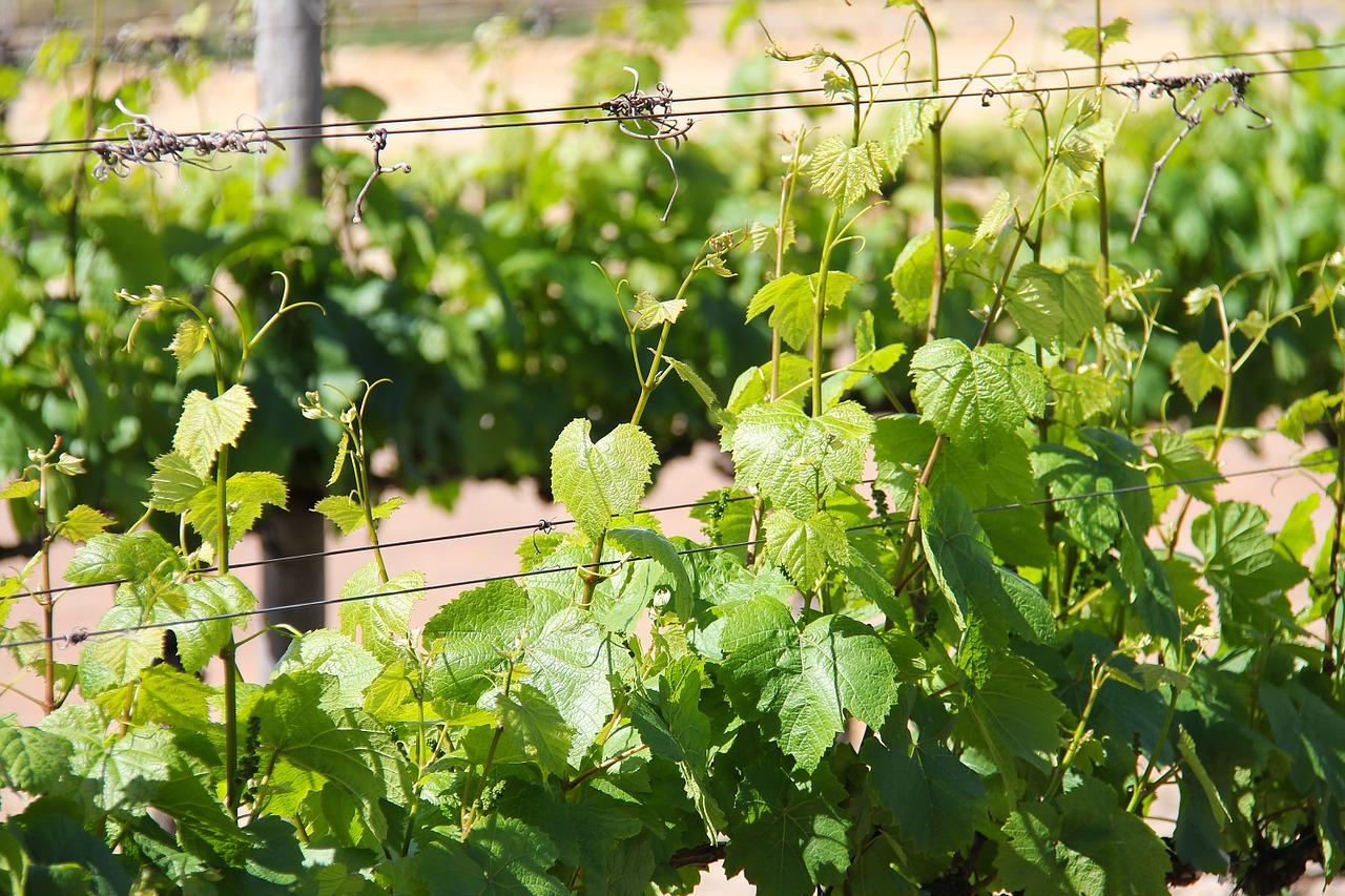 La Falanghina, vitigno autoctono della Campania