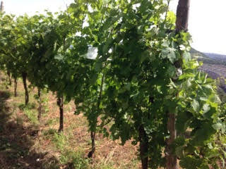 Il Piedirosso, antico vitigno della Campania