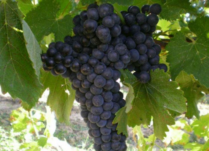 Lacrima di morro d'Alba: vino delle Marche